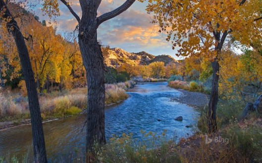Cottonwood trees along the Rio Grande in autumn, New Mexico